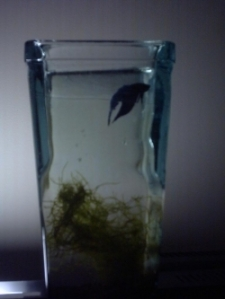 Sad Betta Fish in Tiny Betta Vase