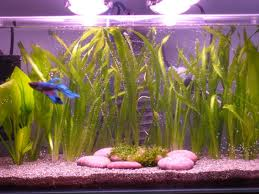 Vallis and happy Betta fish