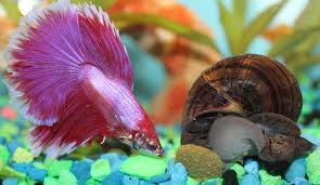 Apple Snail with Betta Fish