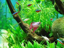 Neon Tetras with Betta Fish